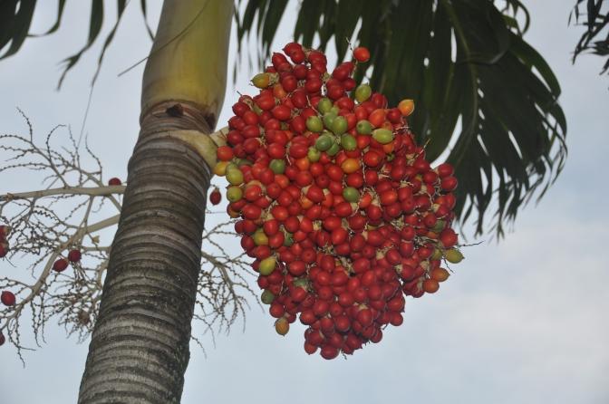 Palm Kernals