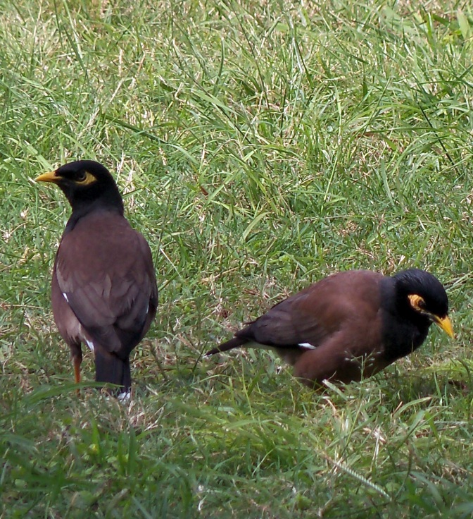 Common Myna Pair