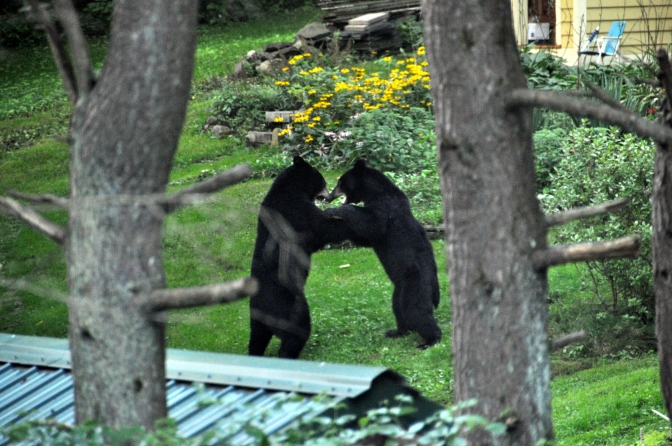 Two Black Bears