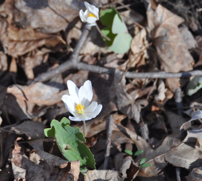 blood-root