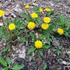 Wild Dandelions, CATS, And Despots
